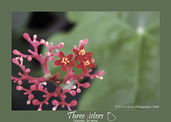 Three sisters: Sri Lanka (Thushan Sanjeewa) Tags: trip vacation flower bravo sri lanka tropicalisland srilanka magicdonkey thushan theperfectphotographer thushansanjeewa indianorcean