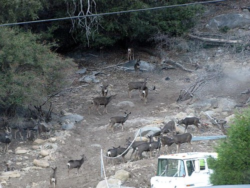 palomar deer