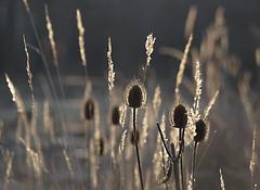 The sun is low (dolorix) Tags: light sun nature licht natur teasel sonne distillery karde hbw fineartphotos diamondclassphotographer gemsofnature worldsartgallery