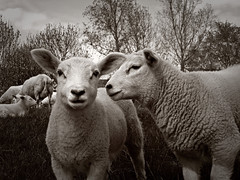 Lambs (Vineyards) Tags: blackandwhite bw holland utrecht sheep nederland thenetherlands friendly conversation silenceofthelambs baarn schaap eemvallei zuidereind