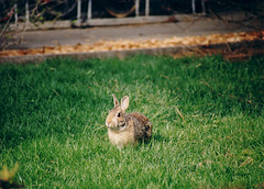 bunny (reyfox) Tags: rabbit bunny moscow idaho cottontail