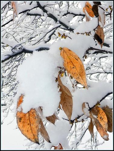 rami e foglie neve