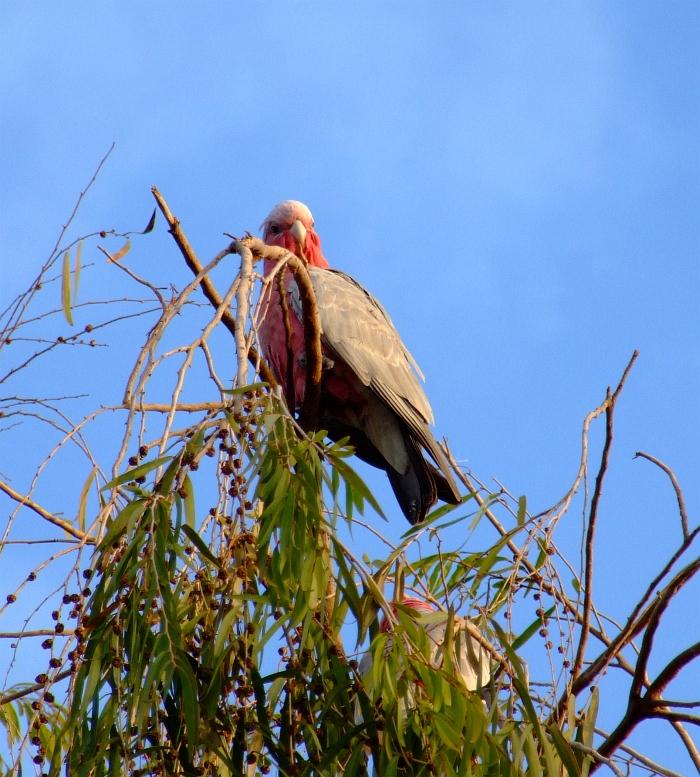 galah in gum tree