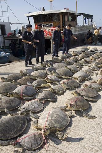 mass turtle poaching