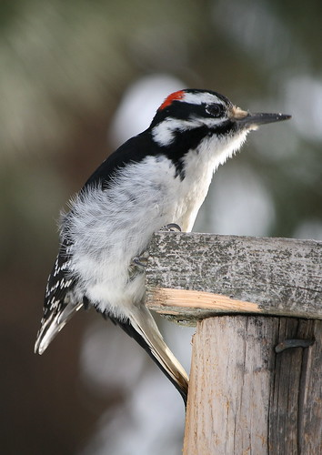 Hairy Woodpecker (male)
