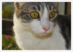 Rebeca, scared (LinoPhilippe) Tags: chile santiago cats cat nikon kitten feline chat kitty gatos gato felino katze nikkor gatto 000 katzen kot matou chatte chaton  d60  hauskatze  felidi 1855mmf3556gvr chilesantiagonikkornikon1855mmf3556gvrgatogatoscatscats