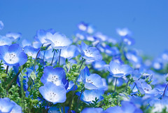 blue on blue (kirschbrunnen) Tags: blue sky flower japan nikon    ibaraki nemophila hitachinaka  nikkormicro60mmf28 d80    hitachikaihinpark