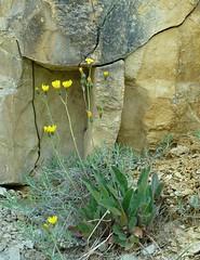 ddf00341 (m-klueber.de) Tags: flora pflanze gelb blume spec asteraceae hieracium mitteleuropa 2011 unterfranken europische korbbltler mainfranken pflanzenwelt bltenstand mitteleuropisch infloreszenz unbestimmt mkbildkatalog 20110426 ddf00341 habitchtskraut