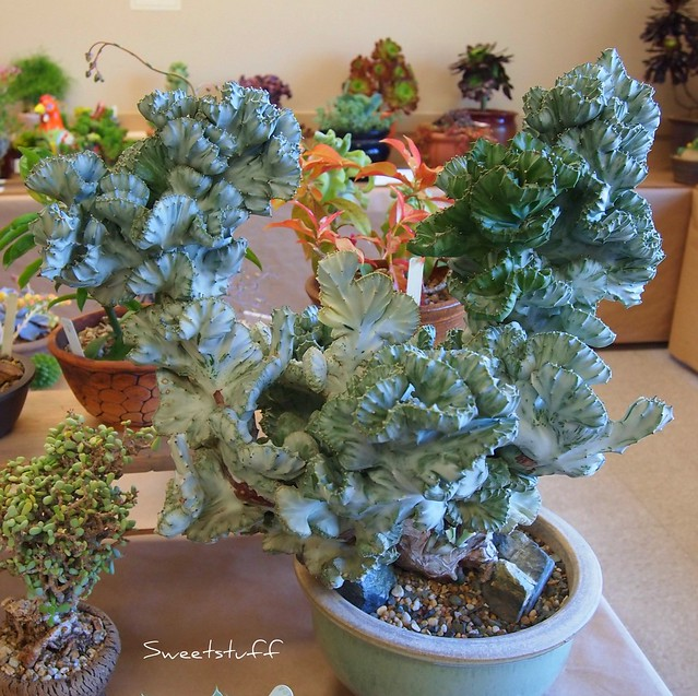 Euphorbia Amak crest