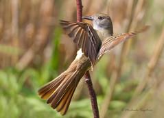_53F8437 Great Crested Flycatcher (~ Michaela Sagatova ~) Tags: nature dundas greatcrestedflycatcher myiarchuscrinitus michaelasagatova