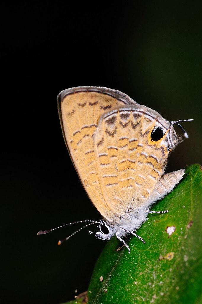 姬波紋小灰蝶 Prosotas nora formosana