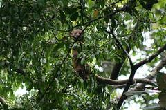 Costa Rica (joeksuey) Tags: costarica lodge jungle kinkajou 2011 pavones olingo tiskita joeksuey
