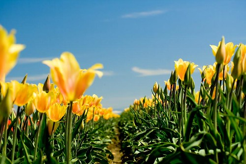 Certain Angles - Yellow tulips at the Wooden Shoe Tulip Festival in Woodburn Oregon