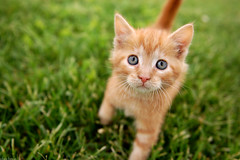Innocence.. (crisbyy) Tags: mountain cute cat kitten feline innocent kitty fluffy precious newborn staring f28 1000views 2000views 5000views cotcmostinteresting 3000views 100faves 50faves cuteoverload 4000views 150faves springmaid bestofcats nikond40 flickrchallengewinner pet1000 150comments nikkor2470 fcats10awards