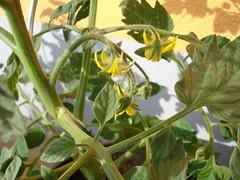 tomatenblüte