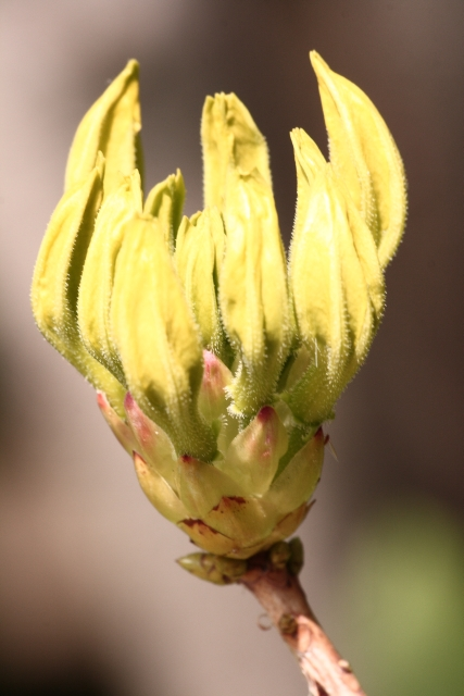 Rhododendron luteum Bud