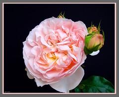Rose mit Anhang