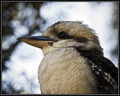 Laughing Kookaburra - what are you thinking? (Tony Steinberg Photography) Tags: bird nature birds laughing australia kingfisher qld queensland kookaburra aust dacelonovaeguineae laughingkookaburra dacelo novaeguineae wildlifeofaustralia avianexcellence