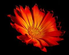 orange mystery flower (blomstre) Tags: anawesomeshot multimegashot
