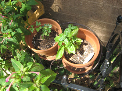 basil & parsley pictures
