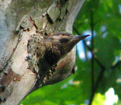Flicker ready to fledge (javadoug) Tags: nature nest northern flicker fledgeling fledge javadoug