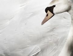 White on white (nathaliehupin) Tags: swan nikon oiseau cygne nikond200 supershot palmipde photographebruxelles nathaliehupin photographeluxembourg photographehainaut photographenamur photographeliege photographemons photographebelgique wwwnathaliehupinbe wwwnathaliehupingraphismebe