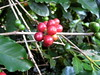 coffee bean cluster (parttimefarm) Tags: trees coffee brasil fruit leaf farm echapora