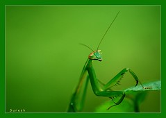 Mantis... (my exposure) Tags: india macro nature garden mantis nikon kerala grasshopper keralam malabar greatphoto d60 calicut kozhikode mantidae nikond60 myexposure colourartaward platinumheartawards southkerala goldstaraward malayalikkoottam 100commentgroup