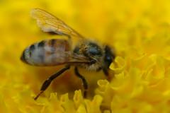 Honeybee 117