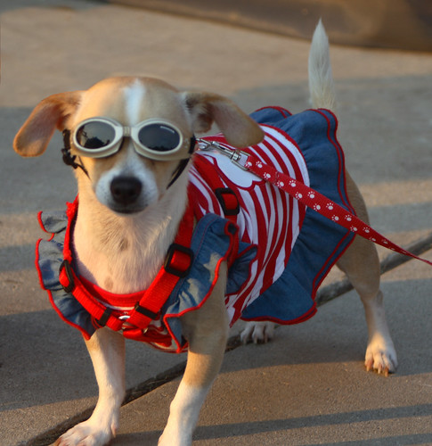 The most patriotic dog - ever. (Photo: randysonofrobert)