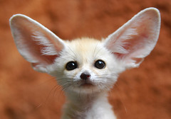 Fennec fox (floridapfe) Tags: baby cute eye nature animal zoo nikon yoda adorable korea fox southkorea fennec everland  fennecfox naturesfinest d80  anawesomeshot aplusphoto ultimateshot theunforgettablepictures platinumheartaward alemdagqualityonlyclub vosplusbellesphotos