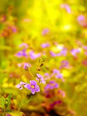 Pretty Sunday (mintukka) Tags: summer holiday flower green nature yellow purple blossom lilac summertime kukka kukat awesomeblossoms