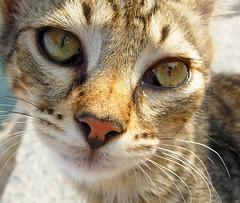 052 (kimyager) Tags: macro animal cat kedi hayvan canl