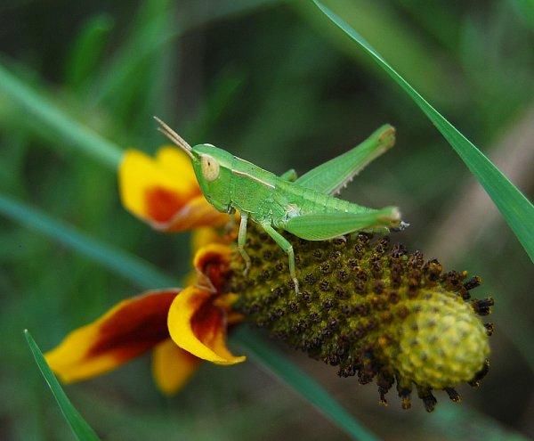 Brown Eyed Grasshopper -- Close-Up