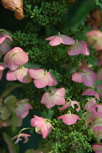 Oak-Leaf Hydrangea