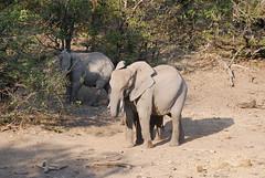 Botswana 068 (juliar222) Tags: travel wild animals wildlife safari elephants botswana mashatugamereserve mashatugamereserveanimals juliar222