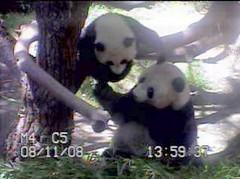 Bai and Zhen (sue-pandas) Tags: zhen pandas bai