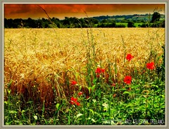 BLOOD RED POPPIES IN A FIELD OF GOLD. (Edward Dullard Photography. Kilkenny, Ireland.) Tags: kilkenny ireland irish gold war searchthebest erin eire chapeau poppy ww1 hibernia emeraldisle somme eireann beautifulearth kps supershot  cillchainnigh mywinners abigfave royalirishregiment commonwealthwargravescommission edwarddullard olympuse510 overtheexcellence betterthangood theperfectphotographer goldstaraward dragongoldaward flickrestrellas alemdagqualityonlyclub colorartphotography martindullard saillylesec divecopsebritishcemetery kilkennyphotographicsociety