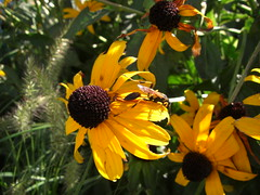 Funky Wasp on Black-Eyed Susan2 (mytripsandraces) Tags: chicago wasp blackeyedsusan