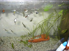 The guppy growing tank (Mihnea Stanciu) Tags: fish aquarium tank fishtank tropical guppy tropicalfish poecilia reticulata livebearer poeciliareticulata