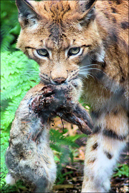 Lynx Eating Rabbit