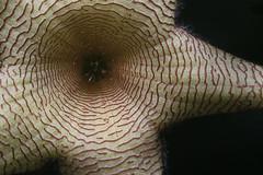 _MG_1673 (peeperita) Tags: canon mississippi garden succulent rebelxt stapelia stapeliagigantea stapeliad peeperita