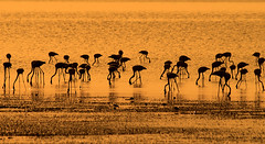 "searching ""Explored"" (Peacful-Art.com ) Tags: sea birds photo wildlife flamingo kuwait migration kwt vwc migrationbirds kwtphoto kvwc colourartaward kuwaitvoluntaryworkcenter kwtphotocom"