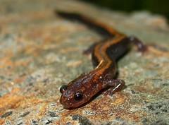 Plethodon cinereus cinereus (Eastern Red-backed Salamander) (Nick Scobel) Tags: salamander eastern redback plethodon redbacked cinereus