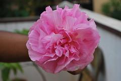 Color Changing Flower (mynameisharsha) Tags: pink flower macro beautiful nikon soft petal delicate d60 1855mmf3556gvr mynameisharsha