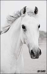 ( Maitha  Bint K) Tags: bw horse white black uae g1 fiatlux