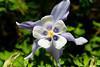 BU286 Columbine (listentoreason) Tags: usa plant flower nature closeup america canon newjersey unitedstates places columbine dicot magnoliophyta ranunculales angiosperm ef28135mmf3556isusm sayengardens score20