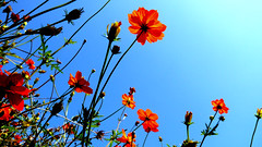 Orange Cosmos, Tokyo Japan (_takau99) Tags: park trip travel flowers blue autumn vacation sky orange holiday flower macro cute fall nature beautiful topv111 japan garden lumix tokyo topv333 october colorful asia pretty topv222 panasonic     2008 topf10 cosmos hama hamarikyu shiodome shinbashi    topf5 topf20 fx30   takau99 dmcfx30