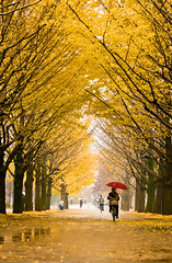 It is raining .... (nippak) Tags: park autumn fall leaves yellow japan tokyo nikon day cloudy   raining gingko koyo d300 hikarigaoka  itcho