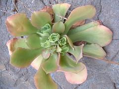 Ae_virgineum_Barranco_Azuaje_20040408_2 (bramwellii) Tags: grancanaria viajes crassulaceae aeonium aeoniumvirgineum